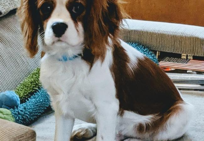 Susan and Frank Coker - Puppy - Carlisle Cavaliers