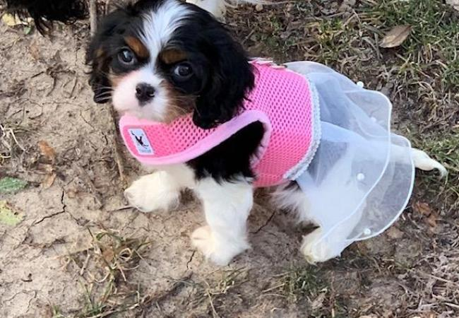 Mike Keithley - Puppy - Carlisle Cavaliers