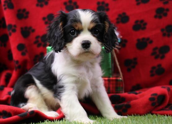 Tommy, Cavalier Puppy, Carlisle Cavaliers