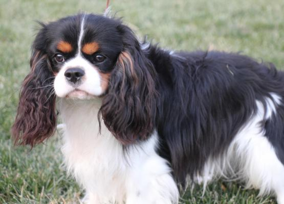 Picture of black and white Male King Charles Cavalier